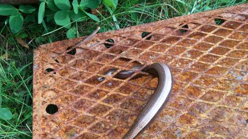 Slow Worm Lizard Grid Rust Animal Reptile
