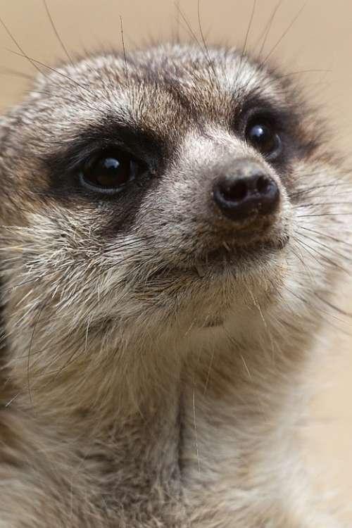Small Eyes Cute Creature Meerkat Animal Desert