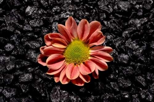 Small Flower Black