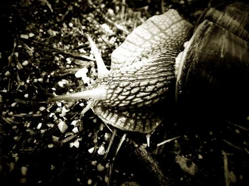 Snail Black And White Animal Summer