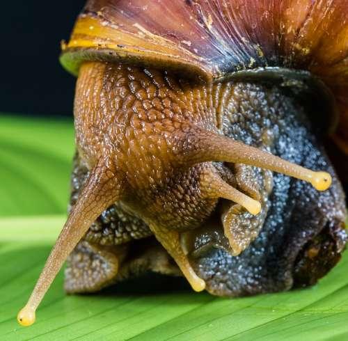 Snail Slimy Land Snail Reptiles Mollusk