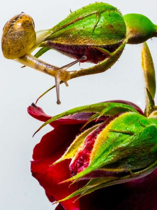 Snail Rose Exploring Nature Macro Plant Green