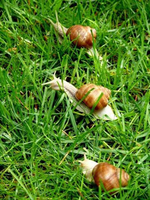 Snails Grass Animal Grapevine Snail Helix Pomatia