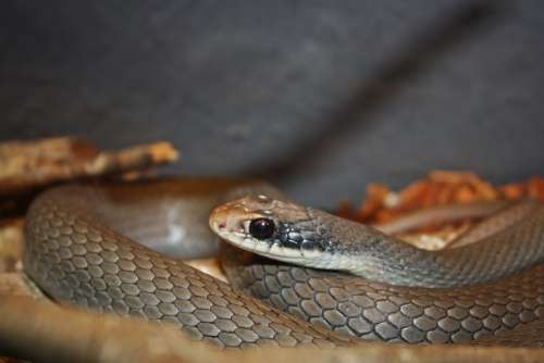 Snake Reptile Serpentes Snakes Animal Snakehead