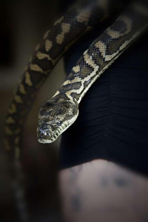 Snake Carpet Snake Pet Snake Pets Animal Reptile