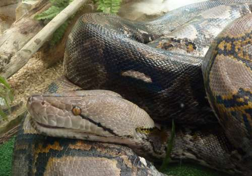 Snake Reptile Head