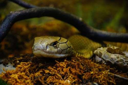 Snake Venomous Snake Zoo Scale Snakehead Reptile