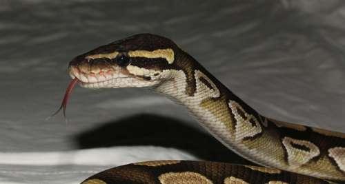Snake Phyton Mojave Terrarium Exotic Graceful
