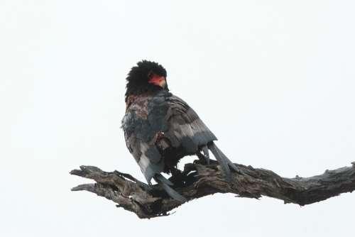 Snake Eagle Wildlife Bird South Africa Feather