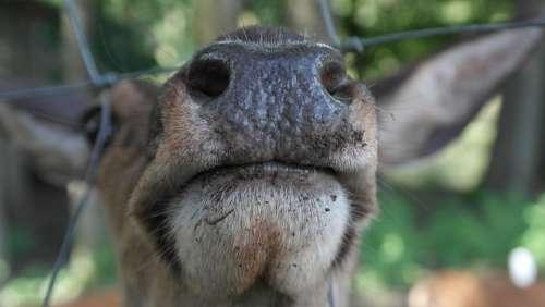 Snout Red Deer Nostrils Flock Hirsch Animal World