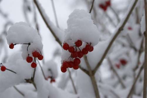Snow Berries Red Trees Winter