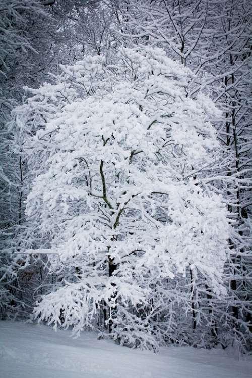 Snow Snowstorm Snowy Weather Winter Snowing Tree