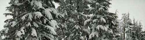 Snow Trees Forest Pine Winter Season Nature Cold