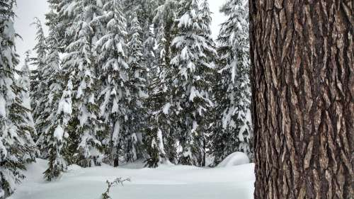 Snow Forest Trees Pine Winter Season Nature Cold