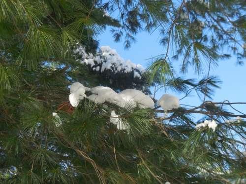 Snow Branch Tree Pine Tree Winter Snowflake