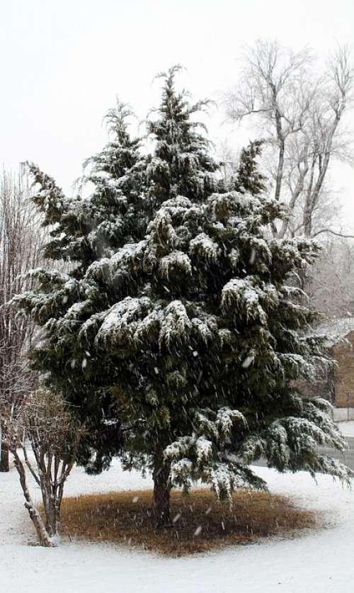 Snow Cedar Tree Winter Cold Midwest City Oklahoma
