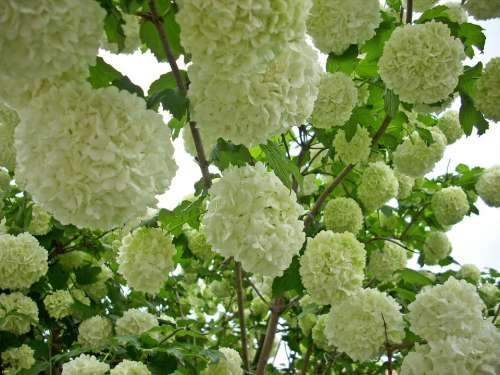 Snow Ball Blossom Bloom Viburnum Bush