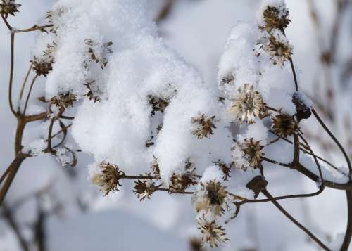Snow Covered Wild Plant Withered Winter Cold Snow