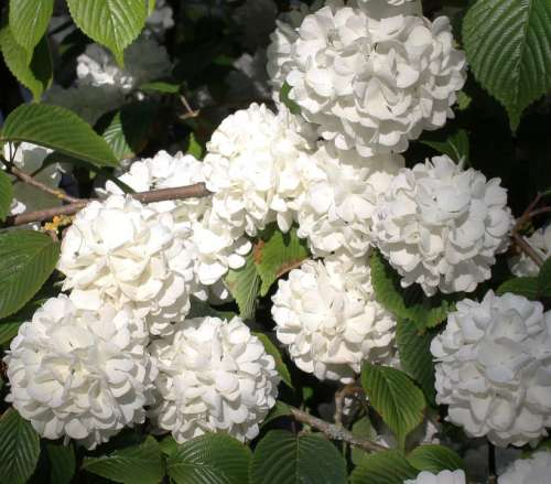 Snowball Blossoms Flowers Spring Leaves Beautiful