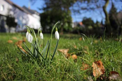Snowdrop Spring Signs Of Spring Flower Plant