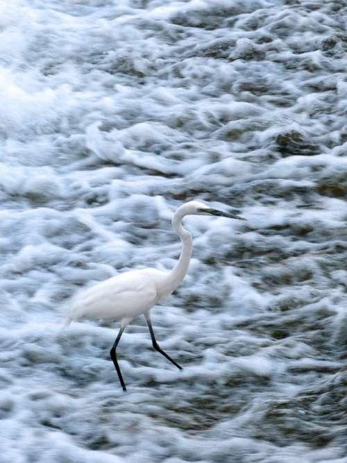 Snowy Egret Egret Bird Wildlife Water Bird River