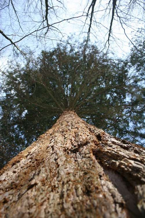 Softwood Tree Giant Sequoia Bark Box Tree