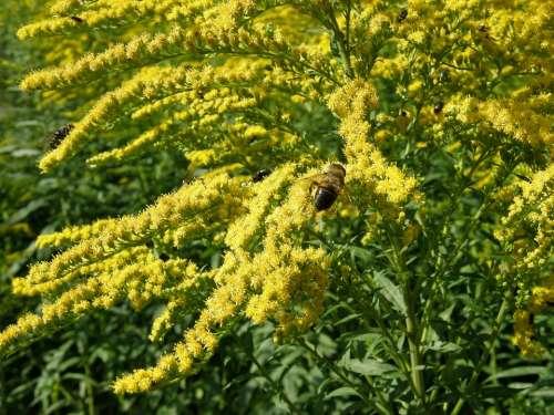 Solidago Goldenrod Bug Yellow