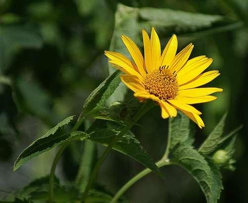 Słoneczniczek Rough Flower Yellow Garden