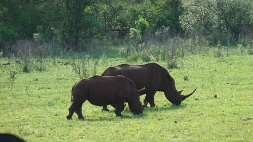 South Africa Animals Rhino In The Hluhluwe Park