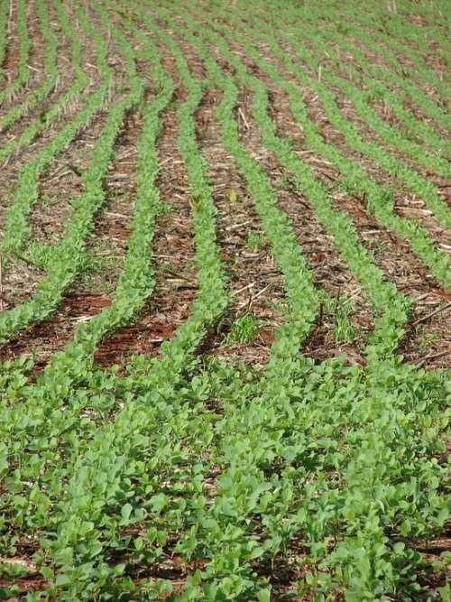 Soybeans Plantation Farm Crop