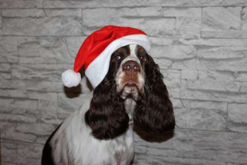 Spaniel Dog Christmas Santa Claus Cap