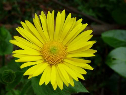 Spanish Yellow Daisy Flower Yellow