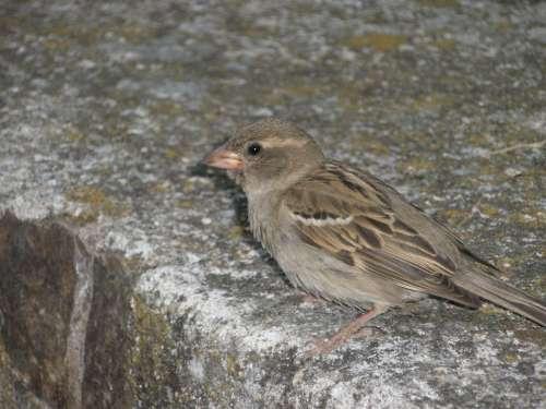 Sparrow Birds Female Plumage