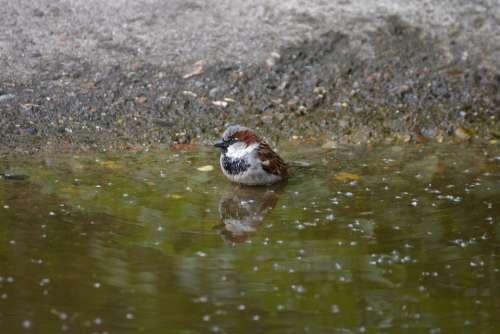 Sparrow Little Bird Birds Colorful Small Swim