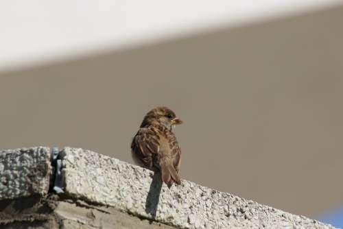 Sparrow Sperling Songbird Bird City Bird Portrait