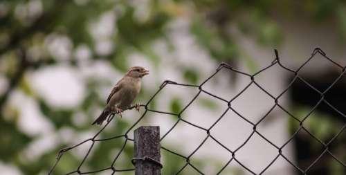 Sparrow Bird Fence Nature Animal