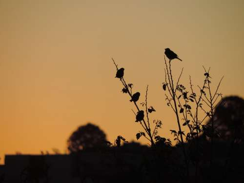 Sparrow Birds Eventide Twilight