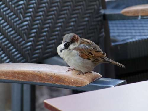 Sparrow Bird Sperling House Sparrow Birds Animals