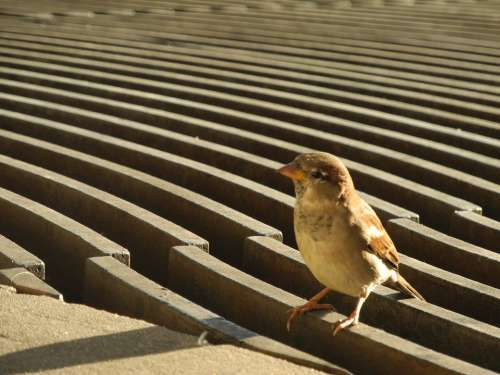 Sparrow Bird Plumage
