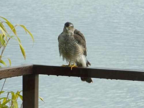 Sparrowhawk Bird Of Prey Bird