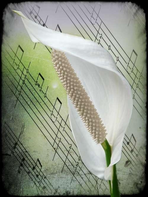 Spathiphyllum Flower White Plant Filigree