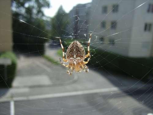 Spider Araneus Cobweb Animal Insect