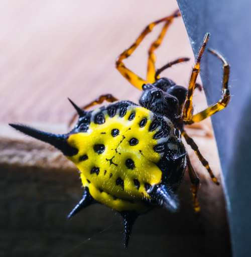 Spider Arachnid Insect Close Up Yellow Exotic