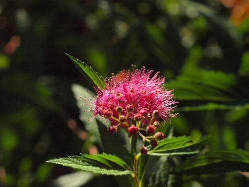 Spiere Bush Blossom Bloom Pink Ornamental Shrub