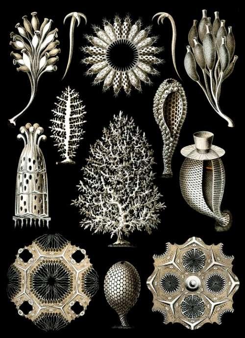 Sponges Sea Sponge Haeckel Calcispongiae Porifera