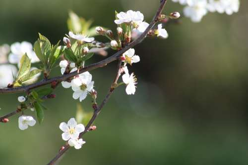 Spring White Bloom Nature Apple Tree Leaves Natur