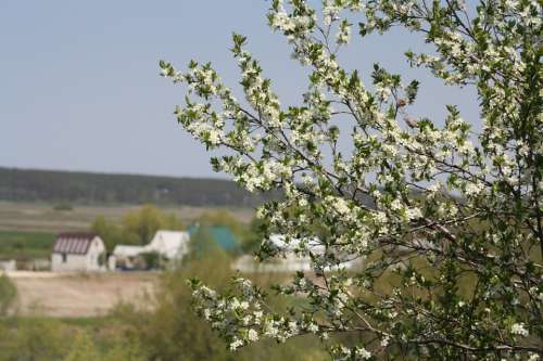 Spring White Bloom Nature Apple Tree Leaves Natur