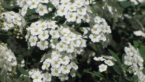 Spring Inflorescence Flower White Blooming Bush