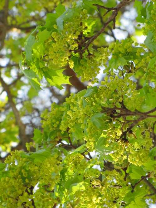 Spring May Maple Deciduous Tree Maple Branch