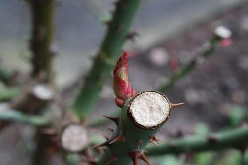 Spring Roses Bud Macro